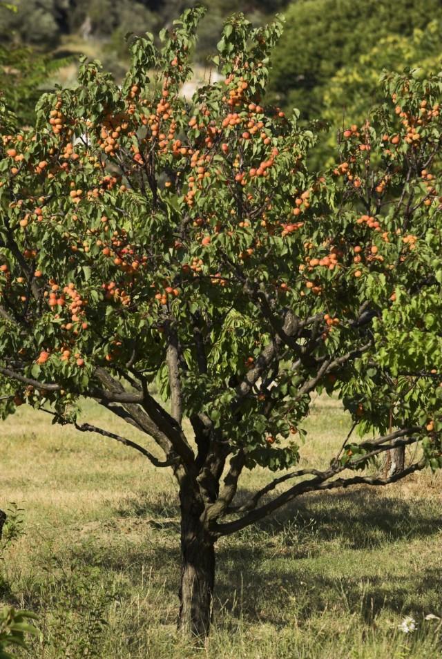 Абрикос - растение-долгожитель, в хороших условиях он может жить до 100 лет