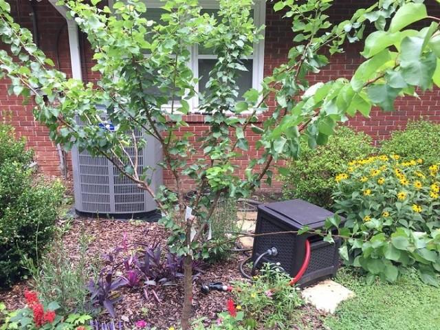 Абрикос рекомендуют сажать вдали от других плодовых деревьев