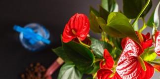 Монстеры, антуриумы, каладиумы — чего хотят все растения семейства Ароидные?