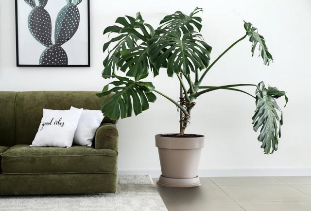 Даже если растение такое стабильно декоративное, как монстера, вносить подкормки для ароидных круглогодично не стоит