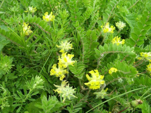 Из-за густого опушения всех наземных органов (исключая венчик) короткими беловатыми волосками растение кажется покрытым нежной паутиной или войлоком