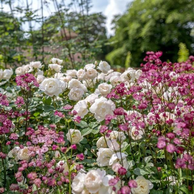 Астранция — идеальный партнер для роз