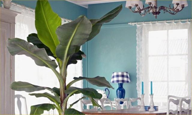 Для комнатных бананов стоит найти самое яркое место, в котором можно обеспечить рассеянный свет