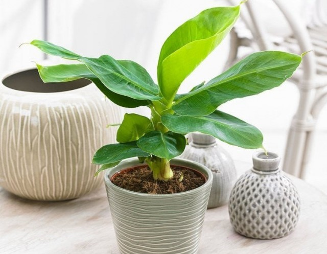 Бананы растут быстро, и их огромные листья требуют немалого количества питательных веществ