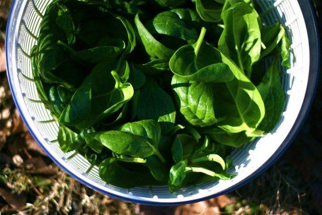 Шпинат отлично подходит для осеннего выращивания
