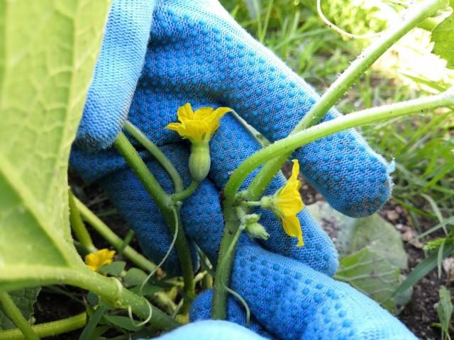 Справа - женский цветок дыни, слева - мужской