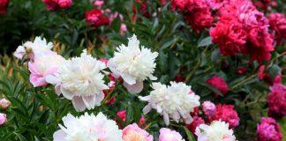 Как ухаживать за пионами осенью, чтоб они пышно зацвели весной?