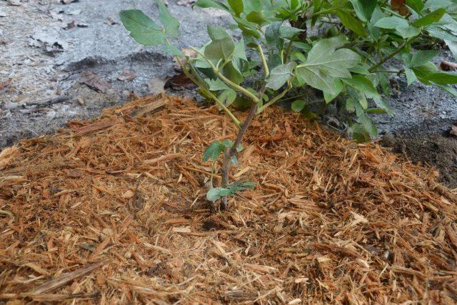 Мульчу, подготавливая пионы к зиме, укладываю щедрым слоем (не менее 20 см)