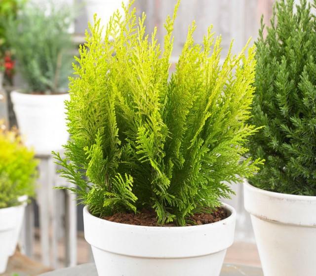 Сортовые растения с оригинальными окрасами более светолюбивы, чем простые зеленые кипарисовики