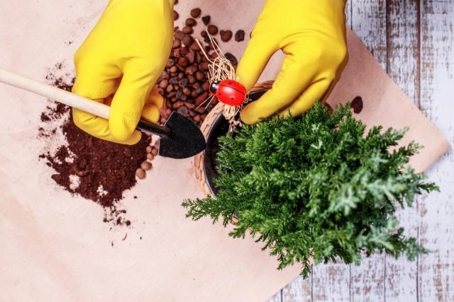 В годы, когда пересадку кипарисовика не проводят, нужно обязательно снимать загрязненный слой почвы сверху и досыпать свежий субстрат
