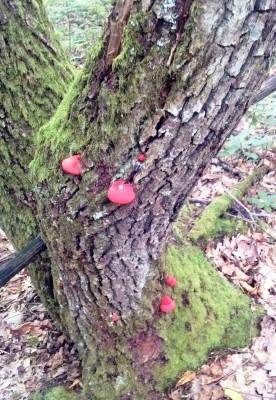 Печёночница (фистулина обыкновенная), или «грибная печень»