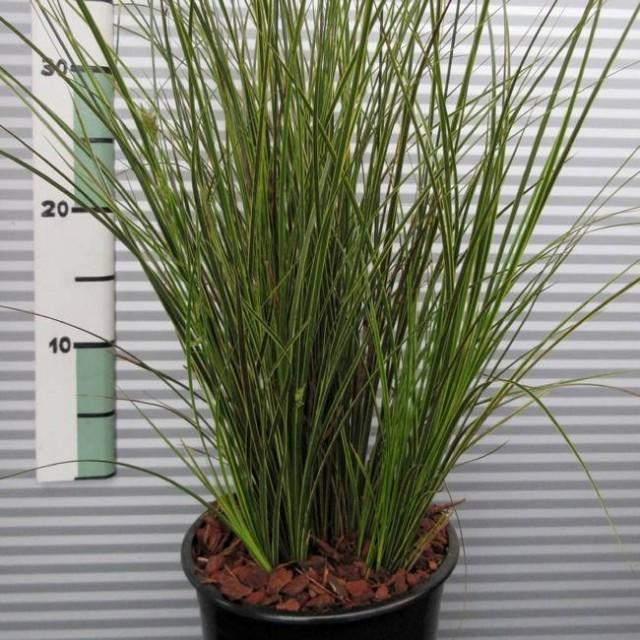 Осока коричневатая (Carex brunnea)