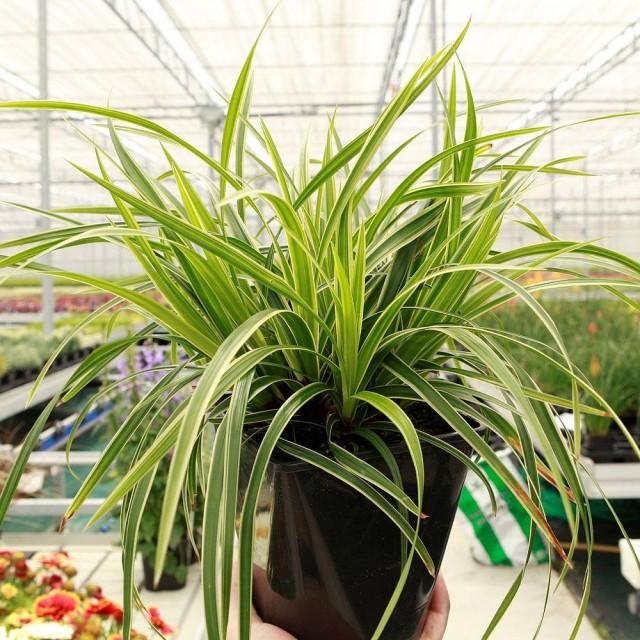 Осока Морроу (Carex morrowii)