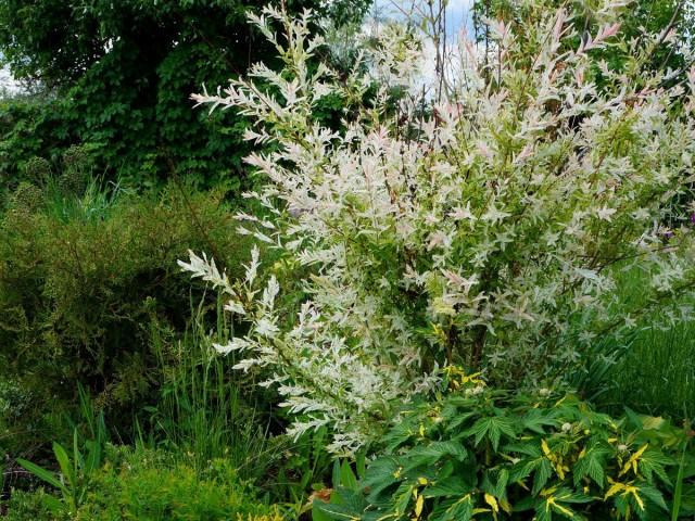 Ива цельнолистная «Хакуро Нишики» (Salix integra 'Hakuro Nishiki')