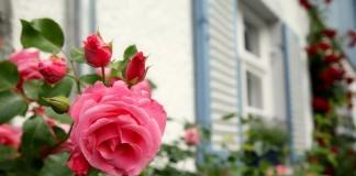Почему мои розы никогда не болеют грибковыми заболеваниями
