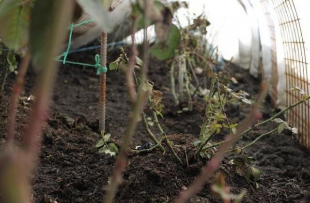 Розы на зиму должны уйти сухими, поэтому в дождливую осень им нужно устроить укрытие перед утеплением