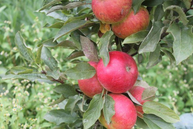 Колоновидная яблоня «Сенатор»