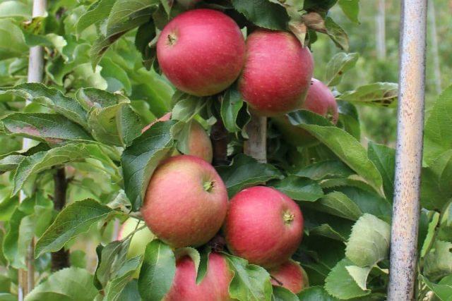Колоновидная яблоня «Васюган»