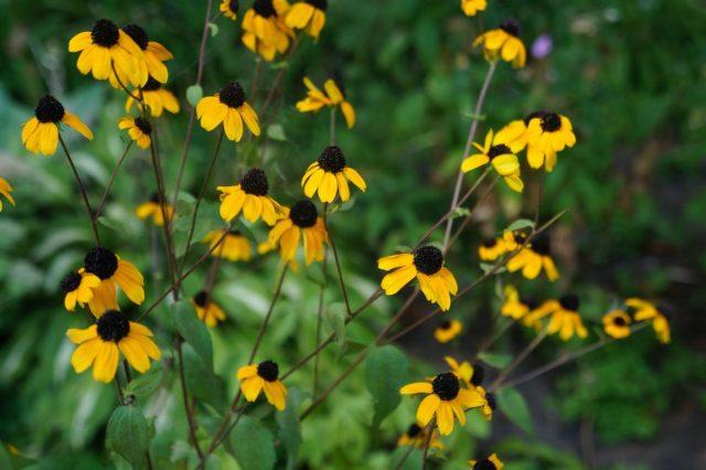 У рудбекии трилоба цветки меньше, чем у других рудбекий, но это растение невероятно эффектно