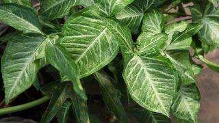 Сингониум ножколистный (Syngonium podophyllum)