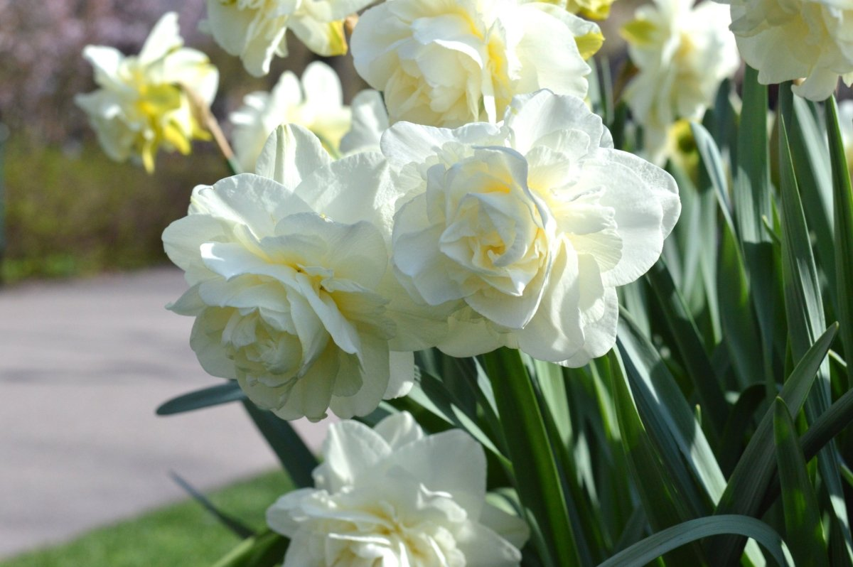 Narcissus-White-Explosion-2