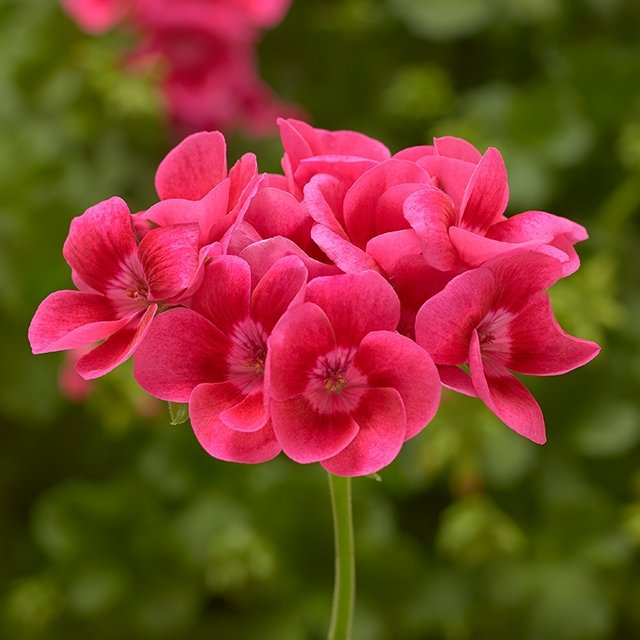 Pelargonium-Pink-Splash-2