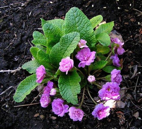 Primula-vulgaris-Paragon-1