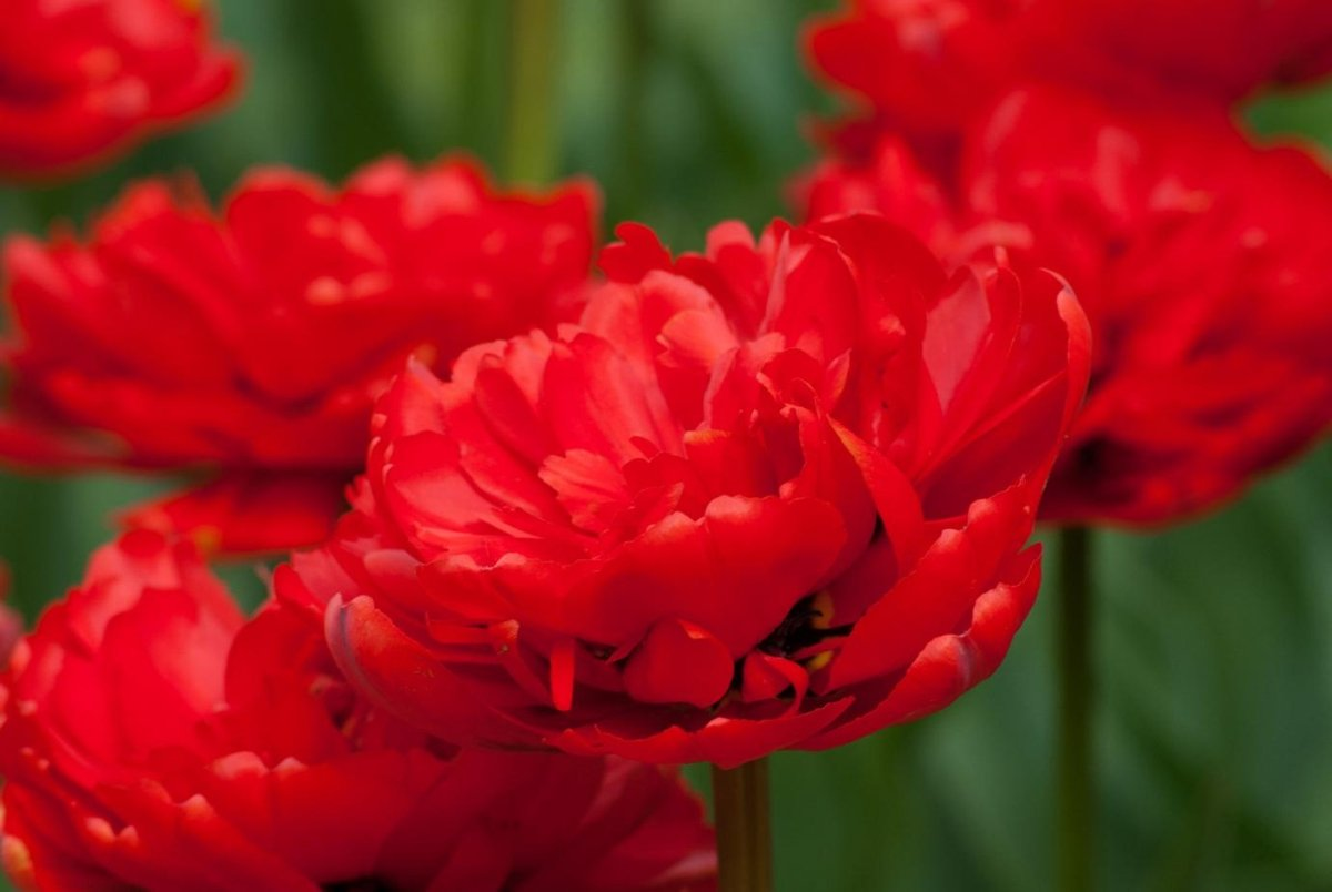 Tulipa-Miranda-1