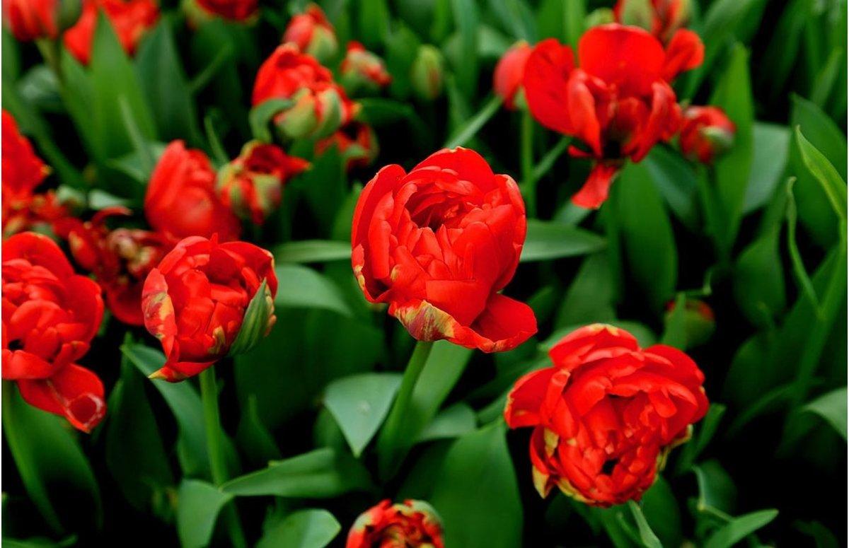 Tulipa-Miranda-2