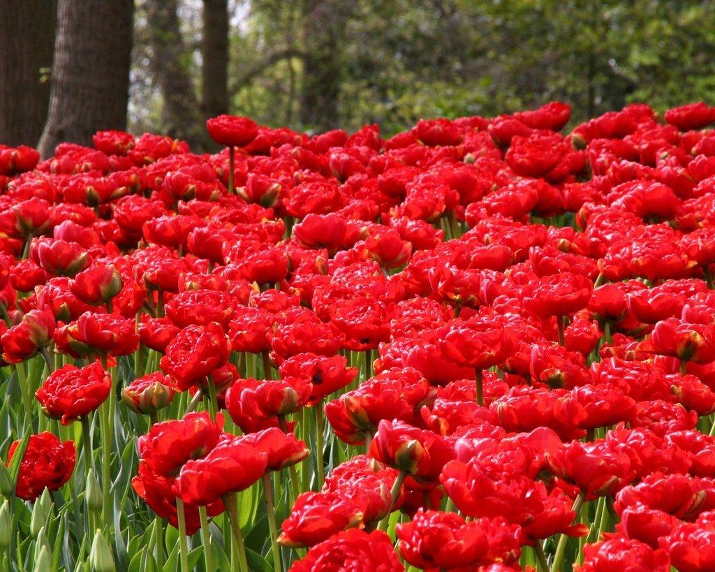 Tulipa-Miranda-3