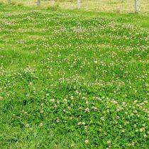 Клевер ползучий белый (Trifolium repens)