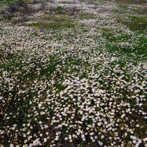 Пупавка благородная (Chamaemelum nobile)