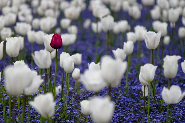 Можно «спрятать» тюльпаны и нарциссы в существующих «садовых коврах» из почвопокровников