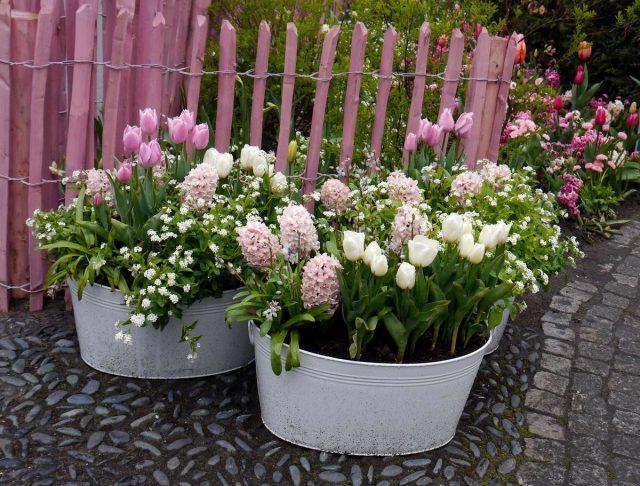 Если выращивать любимые луковичные в горшках, то и проблем с их видом на цветниках не возникнет
