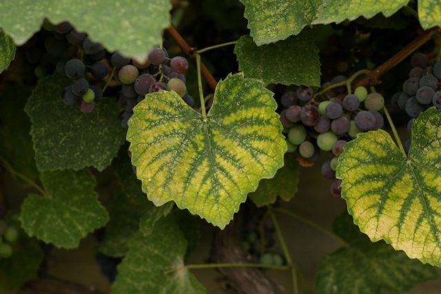 Дефицит магния у винограда