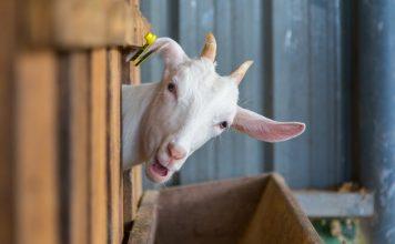 Как и чем кормить коз?