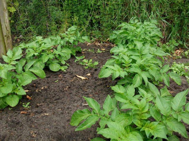 Картофель истощает почву сильнее других корнеплодов