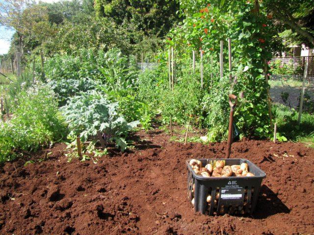 Из грунта стоит выбрать все корневища сорняков и остатки картофельной ботвы