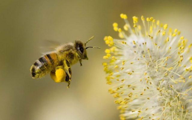 Основная функция пчёл – не добыча мёда, а опыление, а соседство с пасекой увеличивает урожай культур, как минимум, вполовину