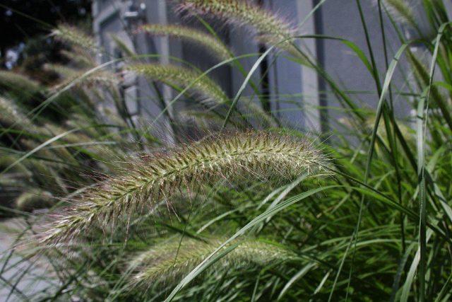 Пеннисетум лисохвостный (Pennisetum alopecuroides) создает удивительно эффектные фонтаны