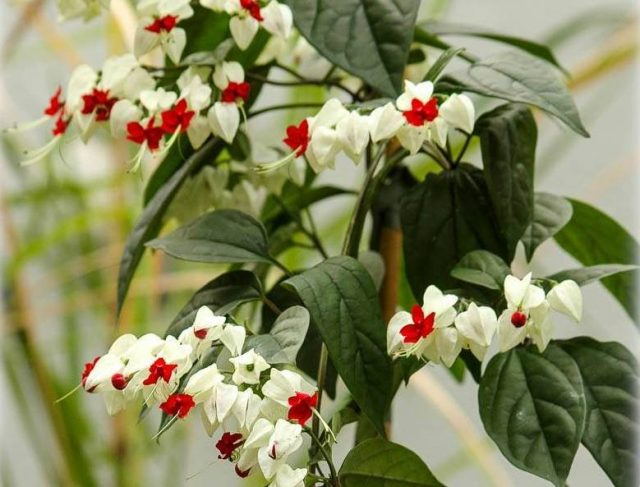 Одним из самых важных условий для цветения клеродендрума Томпсона можно считать своевременную обрезку в самом начале активной фазы роста