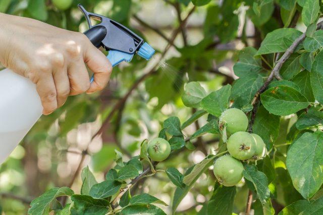 Если на яблоне был замечен монилиоз, опрыскивание био-фунгицидами можно проводить не менее чем за двадцать дней до сбора урожая