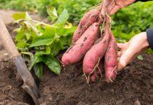 Почему я выращиваю батат и вам советую