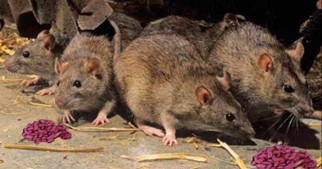 «Ратобор» — истребитель крыс и мышей