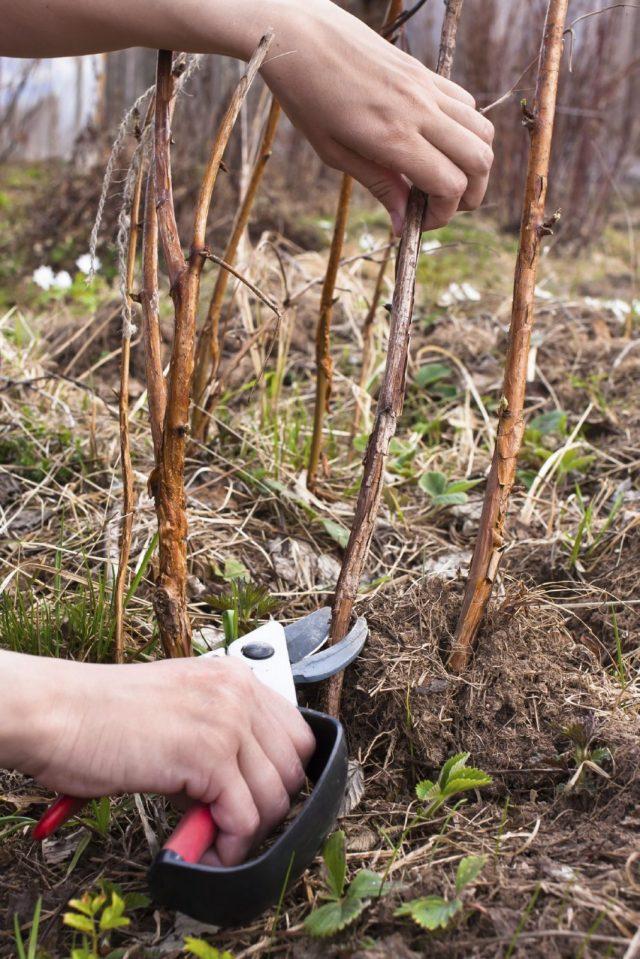 Ремонтантные сорта малины обрезают после листопада полностью, под корень
