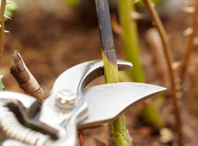 Во время осенней обрезки роз как минимум удаляют все ветки, растущие внутрь куста, повреждённые, слабые и невызревшие побеги