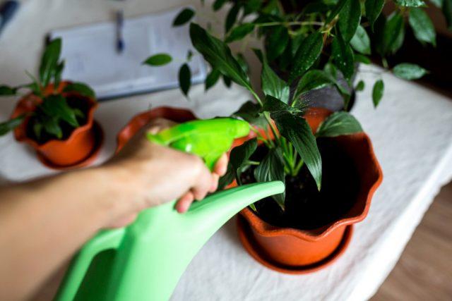 С замедлением роста, падением температур и сокращением освещения уменьшается и полив комнатных растений