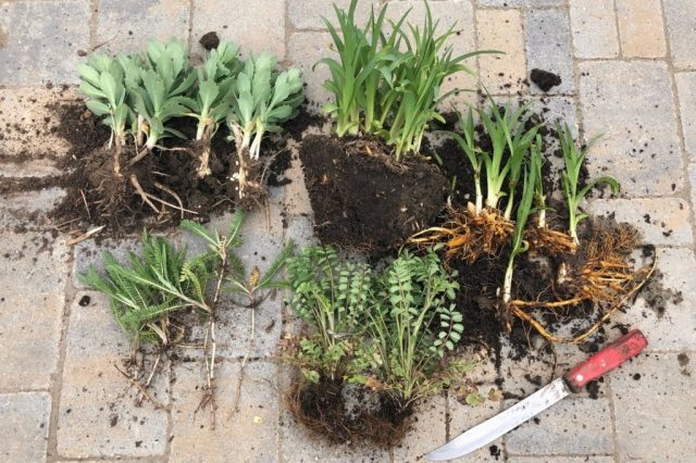 Осень — лучшее время для пересадки и размножения многолетних растений, цветущих весной