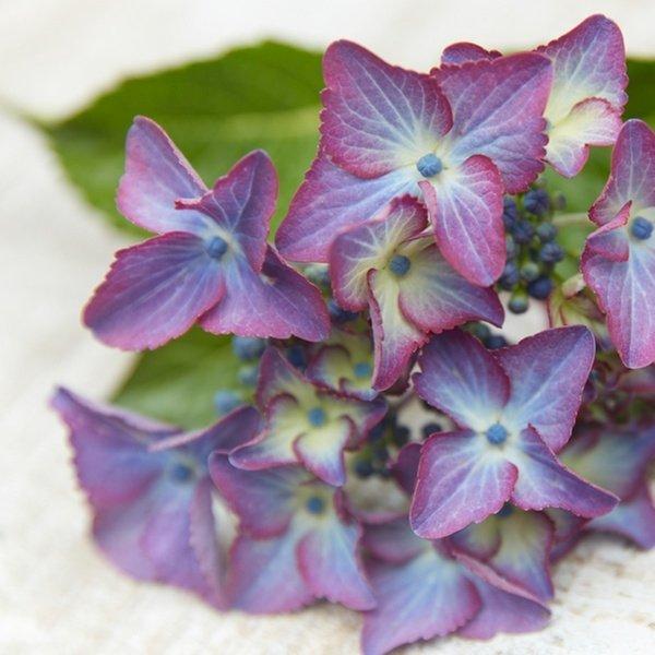 Hydrangea-Black-Diamonds-Shining-Angel-Blue-1