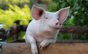 Как и чем кормить свиней?
